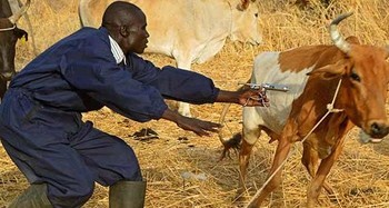Logistical challenges hinder cattle vaccination in Aweil: official