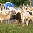 A cattle camp in South Sudan's Lakes State, October 2012